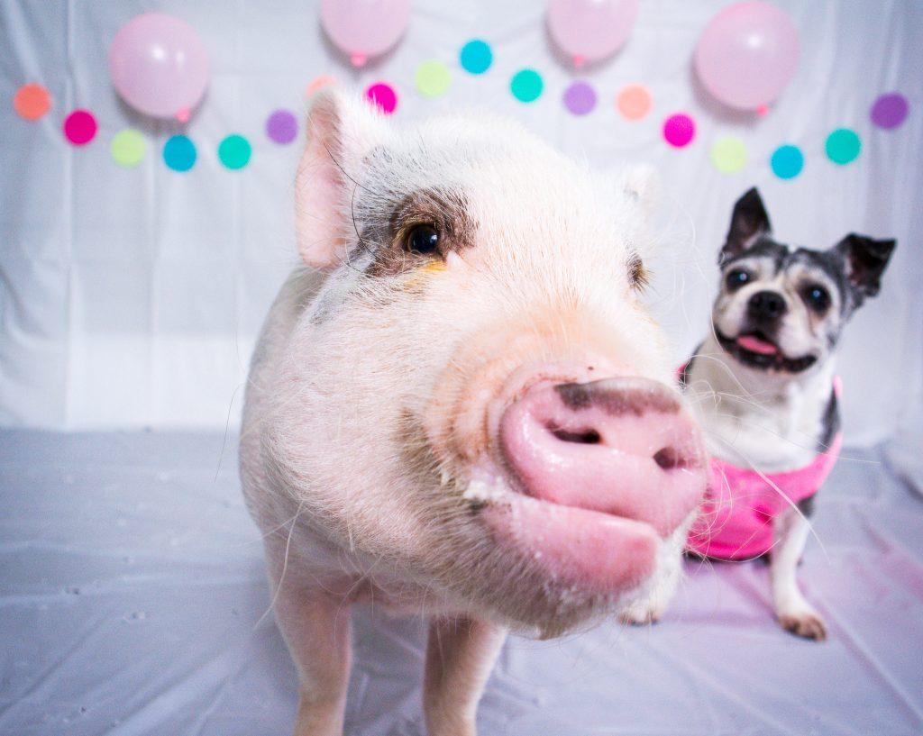 Mini Pig Oscar Celebrates Rylee S 11th Birthday Life